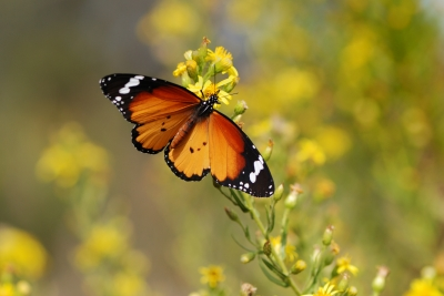 Monarch Butterfly Program at Dinosaur Valley State Park